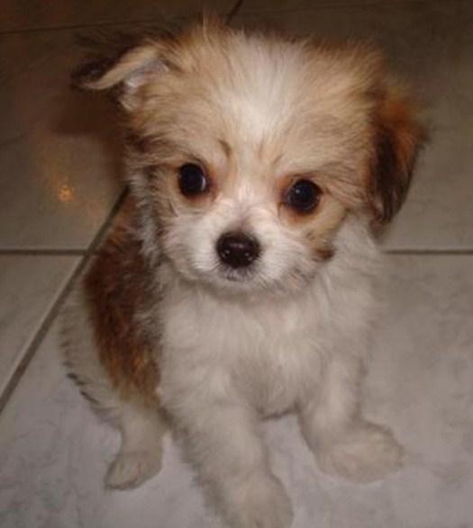 Maltipoo Chihuahua Mix 1