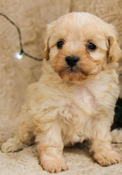 Maltipoo Full Grown 1