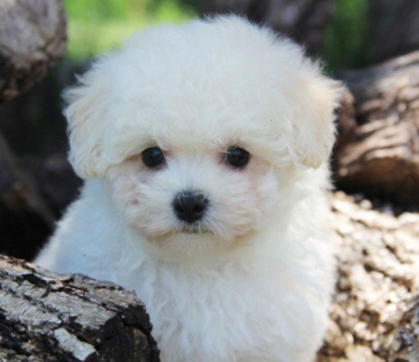 Maltipoo Life Expectancy 2