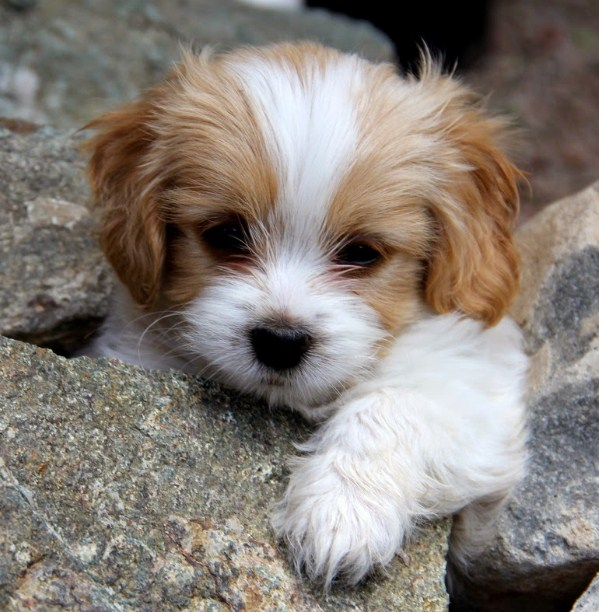 Maltipoo Puppies Facts and Information 2