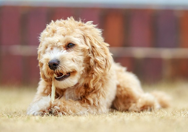 Maltipoo Puppies Facts and Information 3
