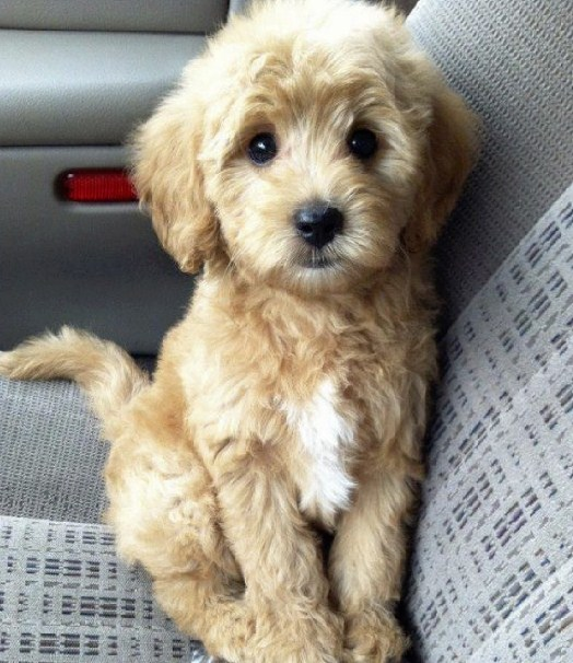 Maltipoo Size and Weight 2