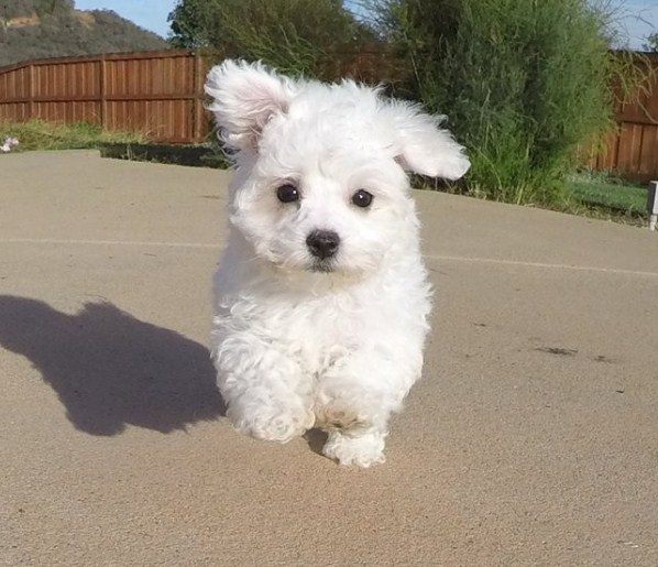 Maltipoo Size and Weight 3