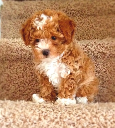 Red Maltipoo 1