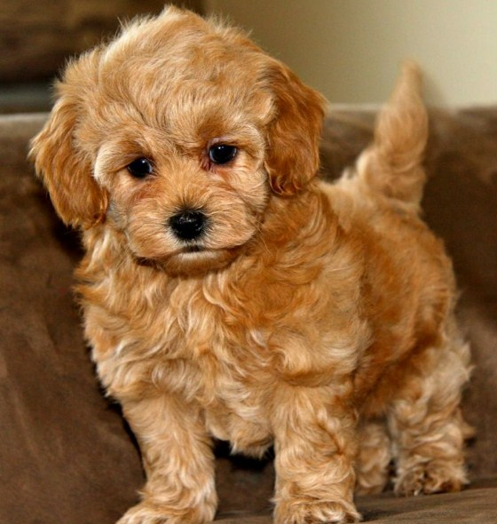 Red Maltipoo 2