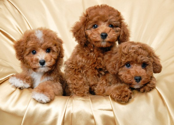 Red Maltipoo 3