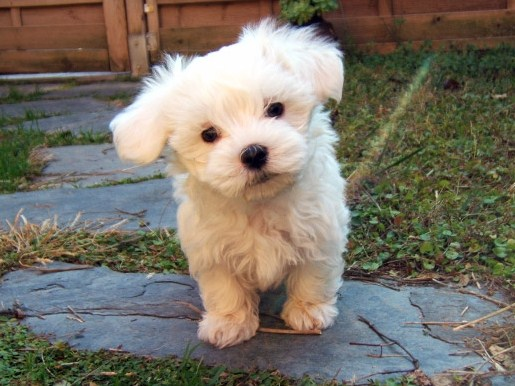 Teacup Maltipoo Information 1