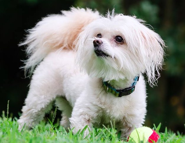 Teacup Maltipoo Information 2