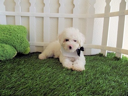 Teacup Maltipoo Information 3