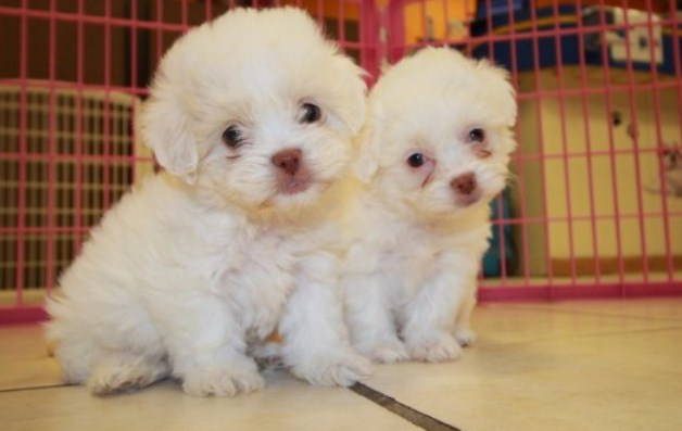What is a Maltipoo 3