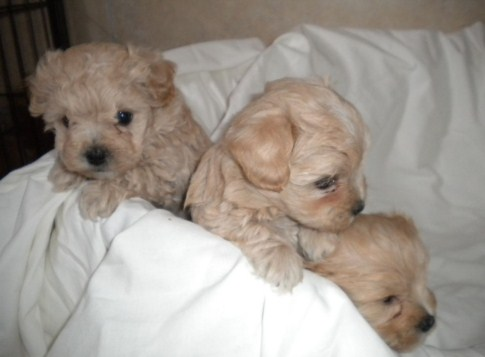 Apricot Maltipoo Puppies For Sale Maltipoo