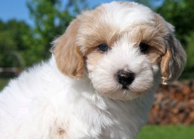 Adult Maltipoo for Sale 1