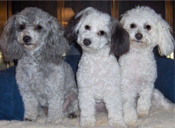 Adult Maltipoo for Sale 3