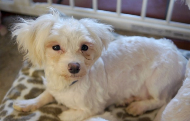 Maltipoo Adoption 1