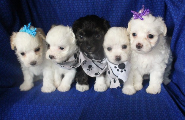 Maltipoo Adoption 3