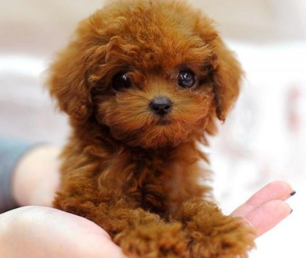 Maltipoo Adults 1