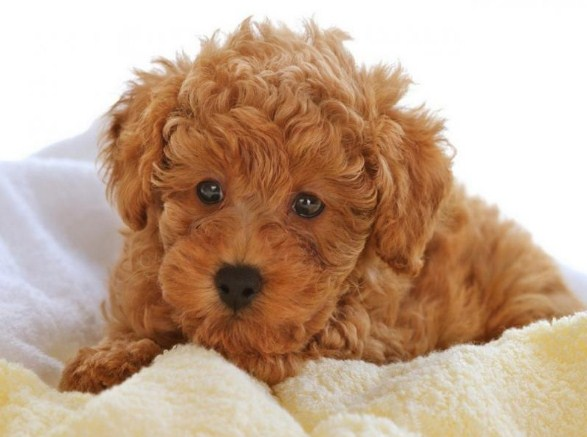Maltipoo Adults 3