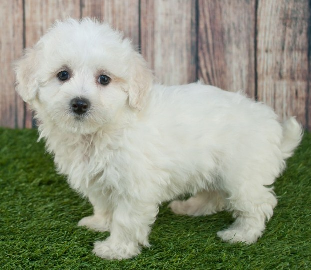 Maltipoo Full Grown 2