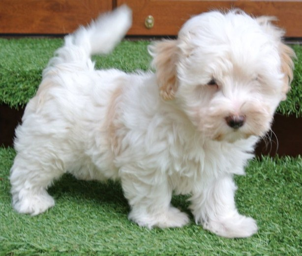 Maltipoo Full Grown 3
