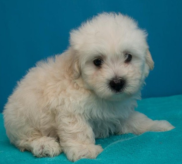 Maltipoo Houston 3