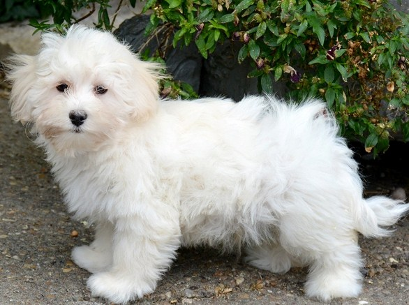 lifespan of a maltese maltipoo life expectancy maltipoo 7713
