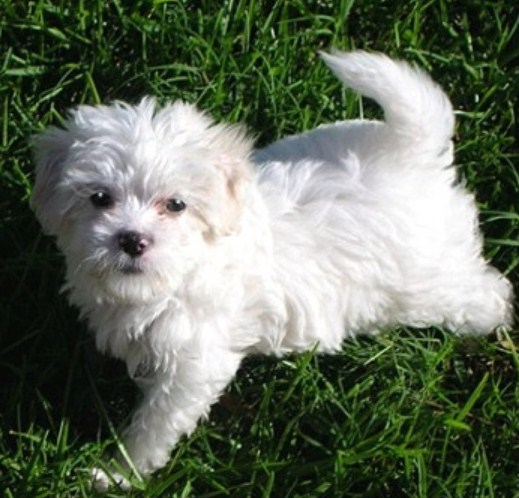 Maltipoo Life Expectancy 3