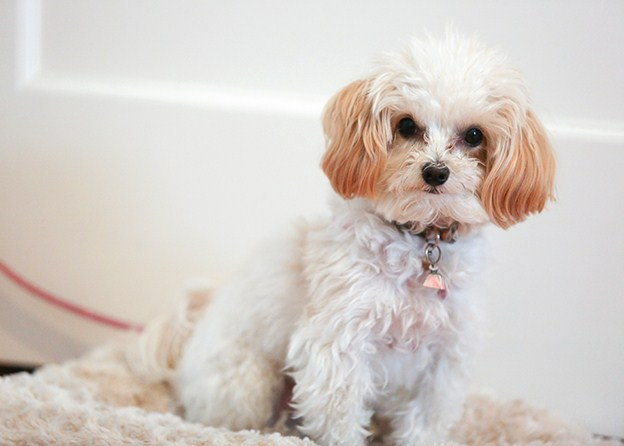 lifespan of a maltese maltipoo lifespan maltipoo 7177