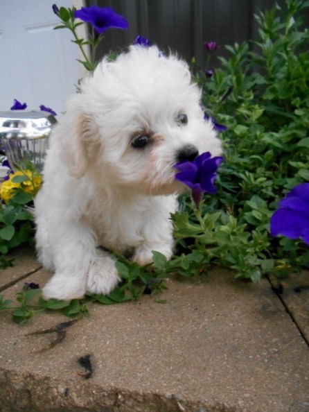 Maltipoo Personality 3