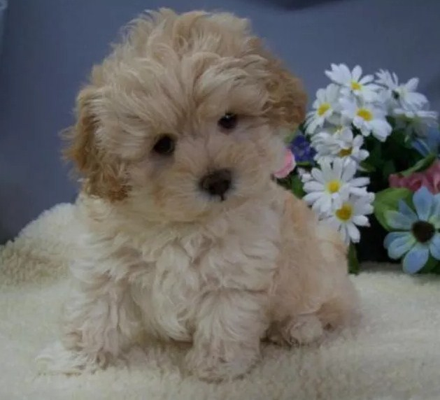 Maltipoo Pictures 1