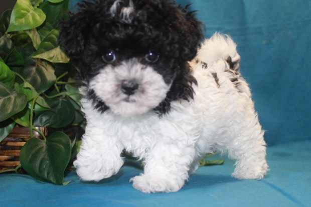 Maltipoo Pictures 2