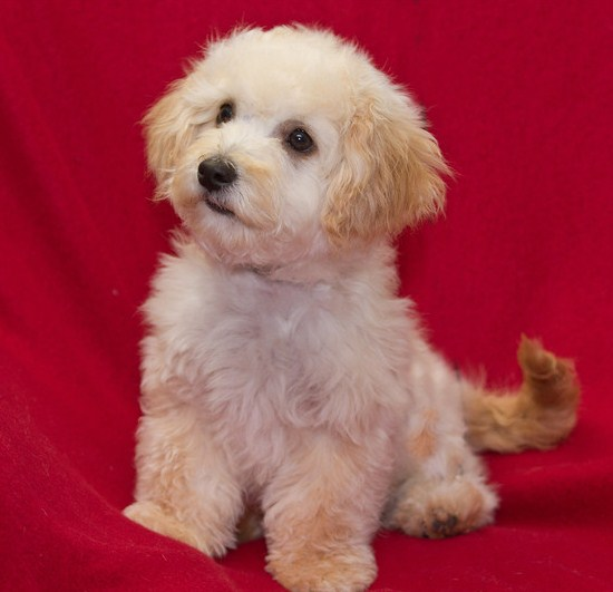 Maltipoo Pictures 3