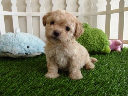Maltipoo Puppies for Sale Near Me 1