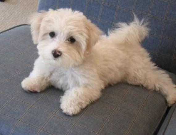 Maltipoo Puppy Cut 1
