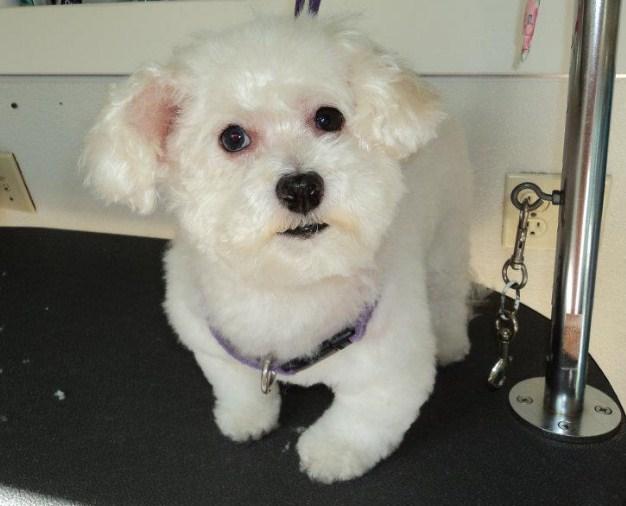 Maltipoo Puppy Cut 3