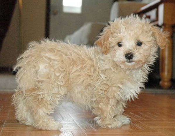 Maltipoo Size and Weight 1