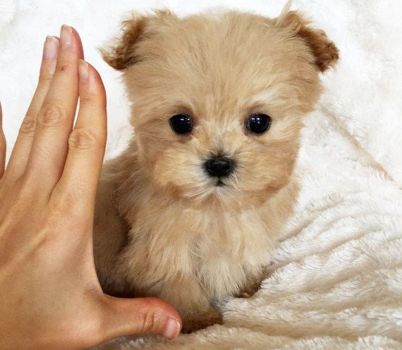 Teacup Maltipoo Puppies For