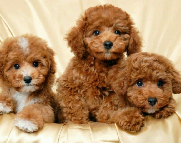 About brown Maltipoo