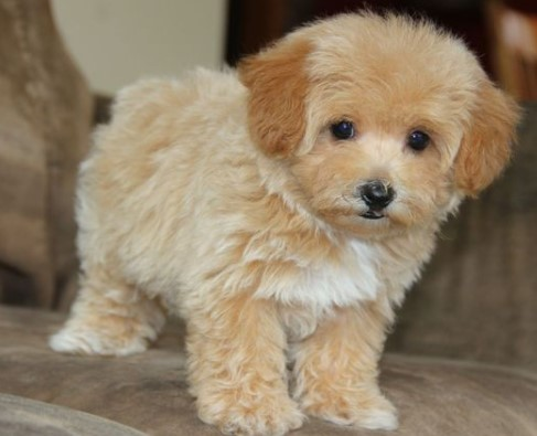 Apricot Toy Maltipoo Review