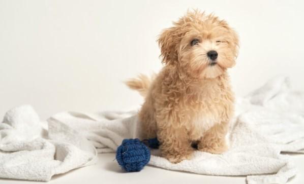 Easy Steps How to Potty Train a Maltipoo Dog