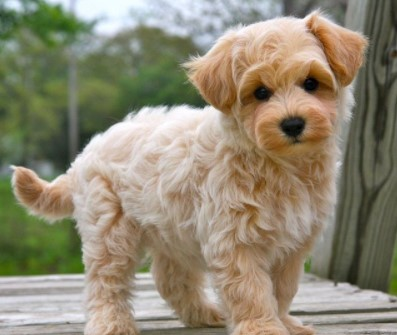 Explanation About Apricot Maltipoo Puppies