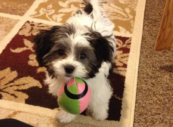 Maltipoo Black and White Puppies for Sale-