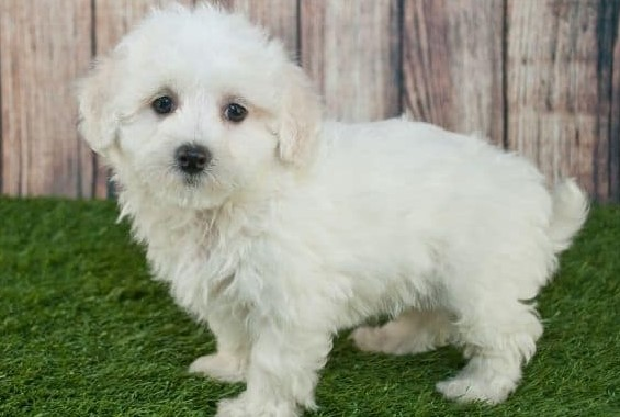 Why do Maltipoo sizes vary at any age